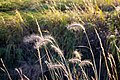 Gensburg-Markham Prairie grasses in the wind.jpg