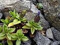 Gentiana verna 4.JPG
