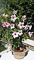 Gentianales - Mandevilla sanderi cultivars - 1.jpg