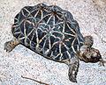 Geochelone elegans (Indian star tortoise) (15536373660).jpg