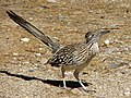 Geococcyx californianus -Sonoran Desert, Arizona, USA-8.jpg