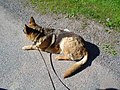 German Shepherd (aka Alsatian and Alsatian Wolf Dog), Deutscher Schäferhund (folder II) 05.JPG
