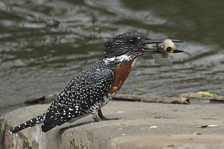 Giant Kingfisher with the catch-of-the-day. Rietvlei Nature Reserve, Gauteng, South Africa