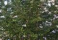 Ginkgo biloba a la plaça del Convent, Dénia.jpg