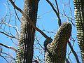 Glandulicereus thurberi (5762309068).jpg