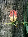 Gloriosa superba Flower.jpg