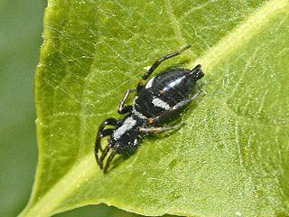 Aphantaulax genus of arachnids