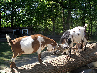 Goats establish a dominance hierarchy in flocks, sometimes through head butting. Goats butting heads in Germany.jpg