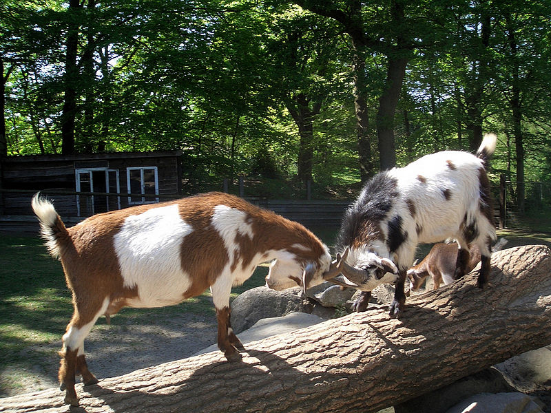 Berkas:Goats butting heads in Germany.jpg