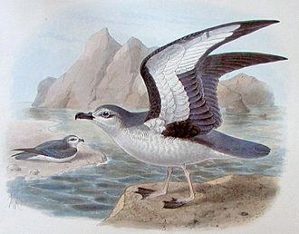 Frederick DuCane Godman - The ranguru or Chatham petrel, Pterodroma axillaris, from Godman's Monograph of the Petrels