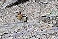 Golden Mantled Ground Squirrel at Lake Moraine.jpg