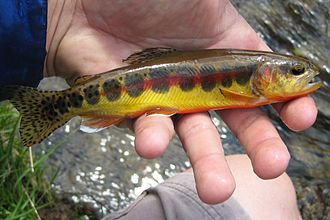 Golden trout - Golden trout from within the John Muir Wilderness.