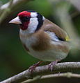 Goldfinch (5767127789).jpg