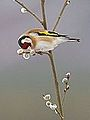 Goldfinch (8751343818).jpg