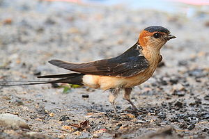 Red-rumped swallow - Image: Golondrina dáurica Cecropis daurica 1