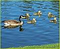 Goslings 4-5-14 (13723960124).jpg