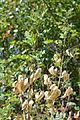 Grüner Zweig mit Blasen von Colutea arborescens.JPG