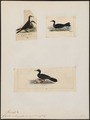 Graculus melanognathos - 1700-1880 - Print - Iconographia Zoologica - Special Collections University of Amsterdam - UBA01 IZ18000141.tif