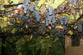 Grapes for Home Wine.JPG