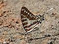 Graphium nomius at Kadavoor.jpg