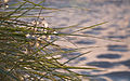 Grass in the evening sun (6181731509).jpg