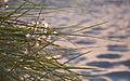 Grass in the evening sun (6181731509).jpg