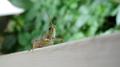 Grasshopper, peering 2 (6063535383).png