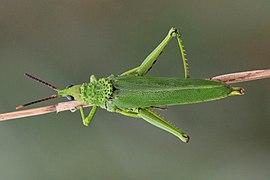Grasshopper (Taphronota calliparea) female 2.jpg