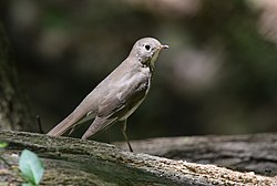 Gray-cheeked Thrush (34454077781).jpg