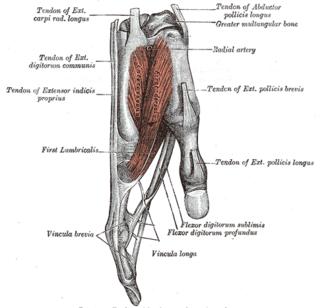 Anatomical snuffbox - Image: Gray 416