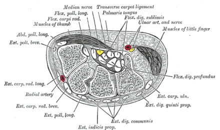 Transverse section across the wrist and digits. (The median nerve is the yellow dot near the center. The carpal tunnel is not labeled, but the circular structure surrounding the median nerve is visible.) Gray422.png