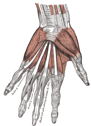 Muscles of the thumb - The muscles of the left hand (palmar surface)