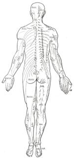Human back - Wikipedia