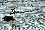 Great Crested Grebe - Lackford Lakes (26686989901).jpg