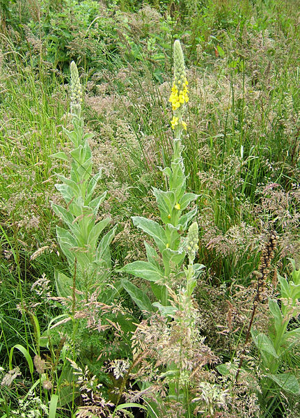 File:Great Mullein Verbascum thapsus Backworth 3.jpg