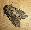 Great Prominent. Peridea anceps - Flickr - gailhampshire.jpg