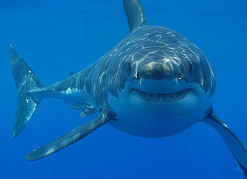 Great white shark (Carcharodon carcharias) off...