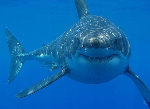 Great white shark south africa
