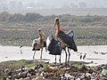 Greater adjutant stork garbage dump Guwahati AJTJ.JPG