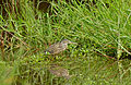 Green-backed Heron (Butorides striata) juvenile (17067908307).jpg