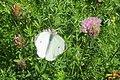 Green-veined white (NH) (31705569770).jpg