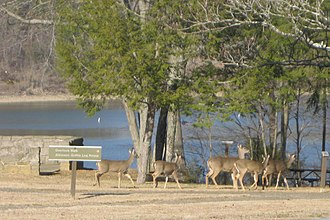 Green River Lake State Park - White-tailed deer at Green River Lake State Park