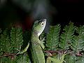 Green Tree Anole (Norops biporcatus) (6662756863).jpg