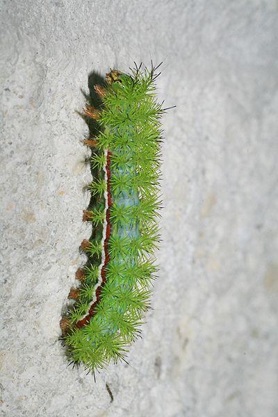 File:Green caterpillar in Loxahatchee.JPG