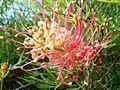 Grevillea juncifolia.JPG
