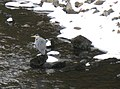 Grey Heron on the Dee - geograph.org.uk - 1730324.jpg