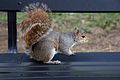 Grey squirrel, Washington DC.jpg