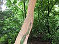 Grey squirrel damage to Cherry Laurel, Spiers Old School Grounds, Beith, Ayrshire.jpg