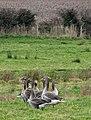 Greylag geese (Anser anser) - geograph.org.uk - 1166508.jpg