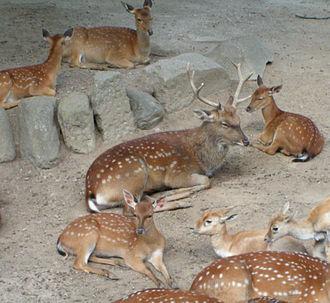 Vietnamese sika deer - A group of Vietnamese sika deer
